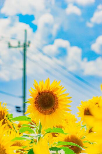 太陽の方を向いて花開くひまわり。ポジティブで前向きなイメージに溢れていますよね。夏のお花の代名詞ともいえるひまわりですが、実は種類がたくさんあり、一重咲きのほか、八重咲きのものも人気があります。
