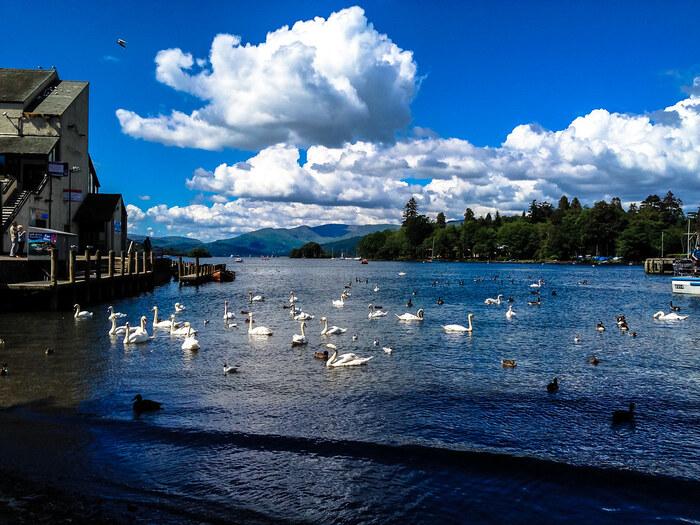 多くの野鳥が生息しているウィンダミア湖では、白鳥をはじめ、たくさんの水鳥の姿を見かけることができます。優雅に湖を泳ぐ白鳥たちの姿は、女王のような気品にあふれています。