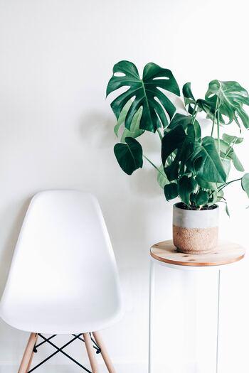 モンステラは観葉植物の中でも育てやすい品種です。水が大好きですが、大きくなれば乾燥にも耐えられるようになる強い植物。直射日光は苦手なので明るい日陰で管理します。葉にホコリが溜まりやすいので、たまに拭いてあげるようにしましょう。