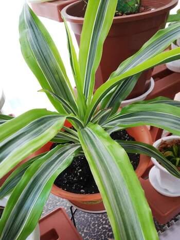 ドラセナは葉の姿や色がさまざまで種類の多い植物。根腐れしやすいので水やりのし過ぎには注意が必要です。土の表面が乾いたらたっぷりと水を与え、受け皿に水を溜めないことを徹底しましょう。乾き気味に管理するとうまくいきますよ。