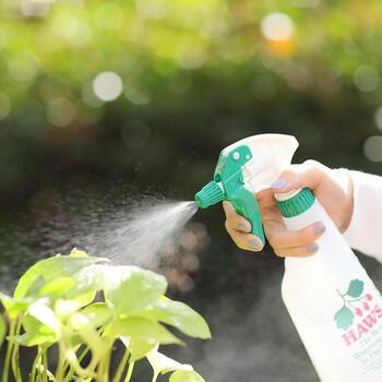 乾燥を防ぐために葉水をやることも大切ですが、葉についた水滴に直射日光が当たると、レンズ効果で葉が焼けてしまう場合があります。葉水をやる場合も朝か夕方にするようにしましょう。