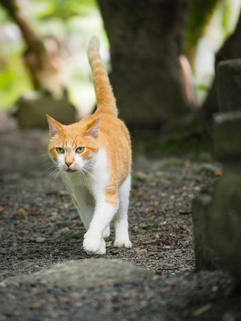 哲学の道をお散歩する猫たちは、なにか哲学的なことを考えているのでしょうか。キリリとした表情がとても素敵ですね。