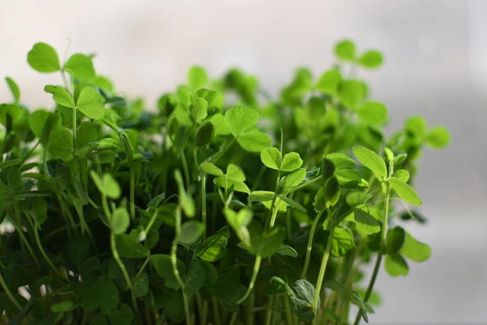 """スーパーでも定番のお野菜となった""""豆苗""""。豆苗は、エンドウ豆を水耕栽培し発芽させた若菜のことで、非常に栄養価が高い事でも知られています。豆苗にあるビタミンB群やCは水に溶けやすいという特徴があるので、茹でる場合はスープがおすすめ!また、含まれているβカロテンは、油で炒める事によってより吸収がUPするそうです。"""