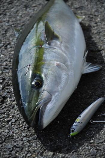日本人の暮らしに昔から根付いている魚「ブリ」。「ブリ」は魚へんに師と書き、まさに冬の今が旬です。そして、このブリ、なんと今年は大漁とのこと!そこで、今回は一人暮らしでも積極的にブリを食卓に取り入れるために、美味しい切り身の見分け方、そして保存方法、そしてブリの切り身を使ったレシピをご紹介したいと思います!
