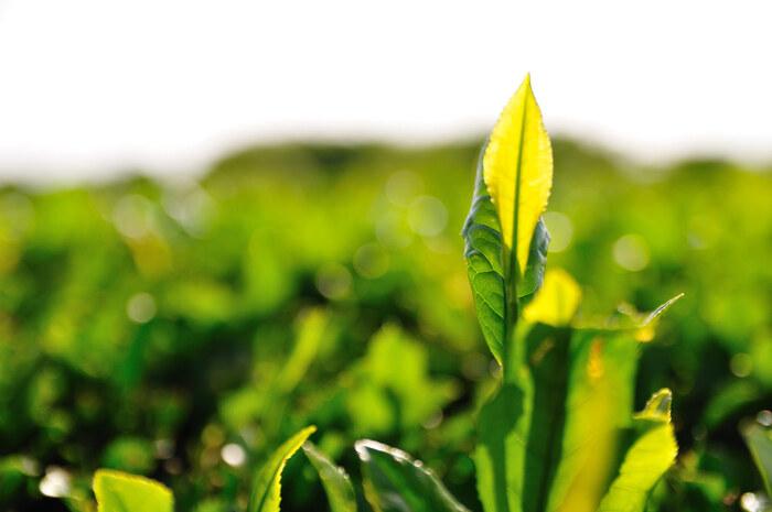日本が誇る緑茶は、海外でもgreen teaとして知れ渡っています。中国茶や紅茶と違うところは、茶葉を発酵させず、摘みたてを蒸す製法で作られています。(不発酵茶に分類されます)