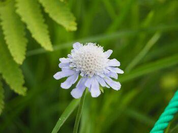 信州では初秋の花とされているマツムシソウ(別名:スカビオーサ)や・・・