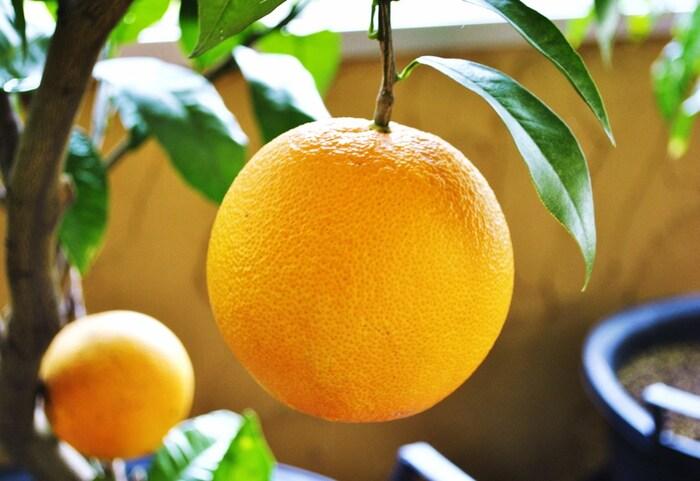 みかんやレモンのような柑橘類は、皮をむいていない丸ごとの状態では「一個」と数えます。グレープフルーツのような大型の柑橘類は「一玉」と数えることもあります。  そして、皮をむいた櫛形の状態になると「一房」(ひとふさ)と数えます。さらに、「一房」(ひとふさ)の中身、細かい実の部分は「一粒」と数えます。