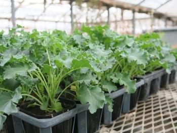 苗植えのケールなら、初心者さんでも失敗なく育てることができます。ケールは病気には強い植物ですが、青虫やコナガなどの害虫がつきやすいので、寒冷紗などを利用してみるとよいでしょう。葉が大きくなったものから、順次、収穫していきます。