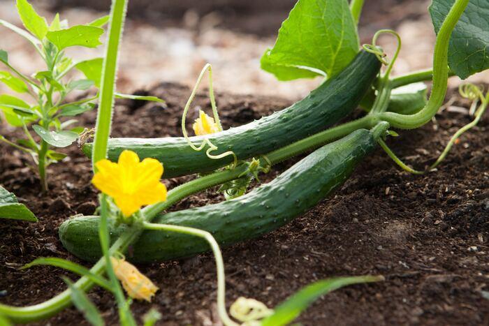 カリウムと水分を多く含むきゅうりは利尿作用があり、尿と一緒に身体の熱を逃がしてくれるので夏バテ気味の方におすすめの食べ物です。味噌やマヨネーズをつけていただきましょう。