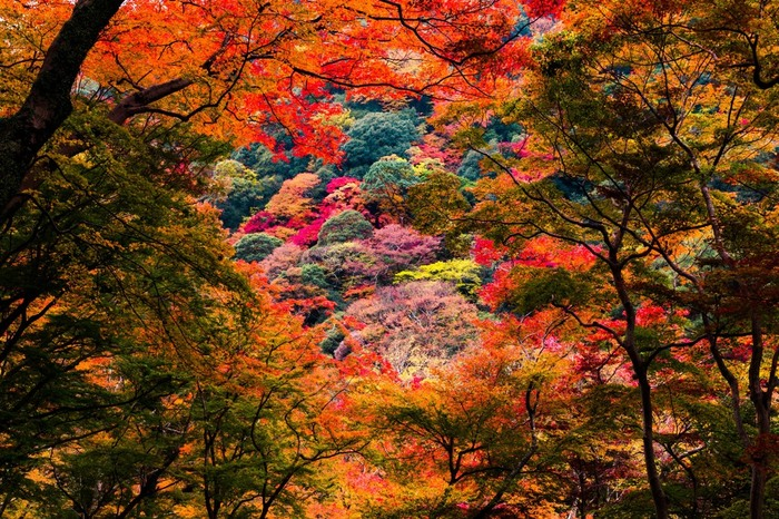 豊かな森が広がる箕面公園の面積は、83.8ヘクタールに及びます。公園の入口から川沿いに、箕面大滝へと続く滝道が整備されています。ここでは、軽いハイキングを楽しみながら美しい紅葉を鑑賞することができます。