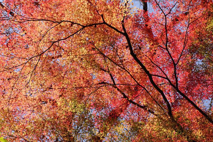 箕面公園は、「森林浴の森100選」にも選定されています。紅葉鑑賞を楽しみながら時々空を見上げてみましょう。深紅に染まったモミジが空を覆いつくしており、まるでモミジのトンネルの中を歩いているかのような気分を味わうことができます。