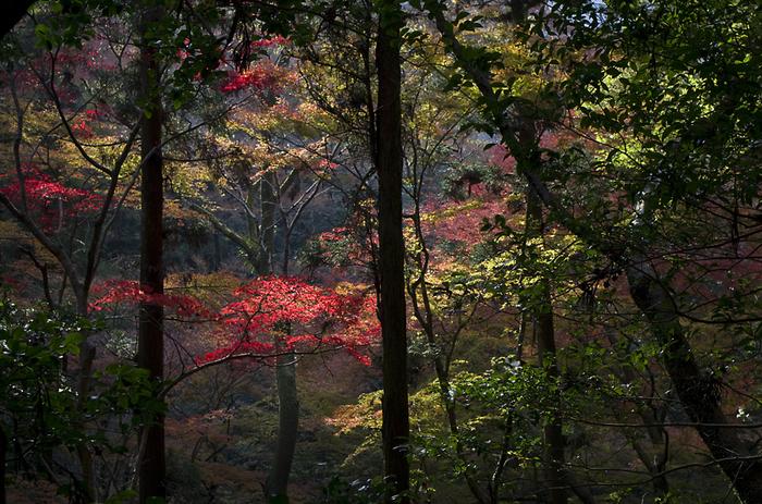 箕面公園は、大阪府中心部から電車でわずか30分程度で到着することができる場所にある豊かな自然が広がる公園です。広大な敷地を誇る公園内には、イロハモミジ、ヤマモミジ、オオモミジなど数々の種類のモミジ鑑賞を楽しむことができます。