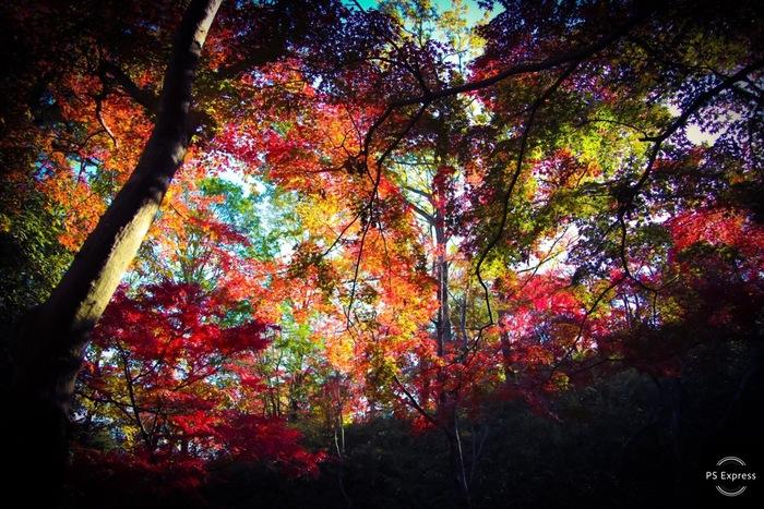約42.65ヘクタールにおよぶ広大な敷地を誇る摂津峡公園は、敷地内のほぼ全体が山林地帯となっており、様々なハイキングコースが敷かれています。毎年、晩秋になると「もみじ谷・くぬぎ谷」といった自然林を中心に渓谷全体が色とりどり樹々で鮮やかに染まります。