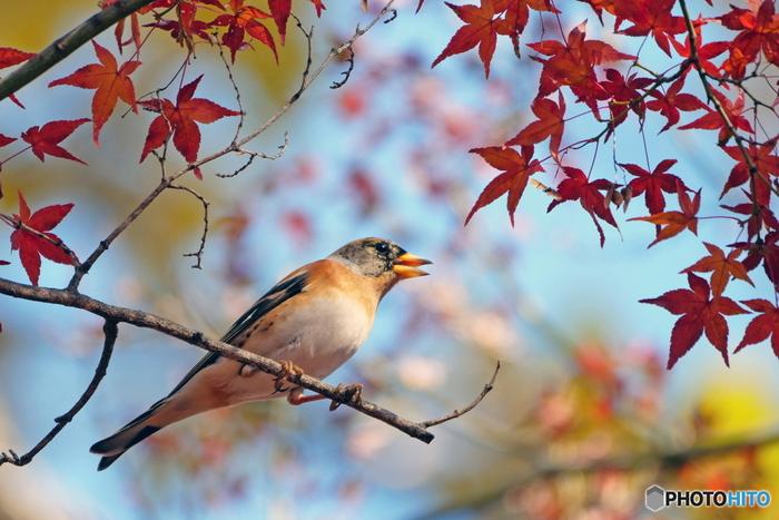 野鳥の宝庫でもある摂津峡公園では、紅葉狩りを楽しみながら、バードウォッチングをすることもできます。