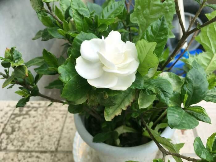 クチナシは寒さに弱いため、特に寒冷地では鉢植えにして室内で管理するのが向いています。真夏の直射日光は避け、日当たりの良い場所で育てましょう。2~3年ごとに鉢を植え替えすると根詰まりを防げます。