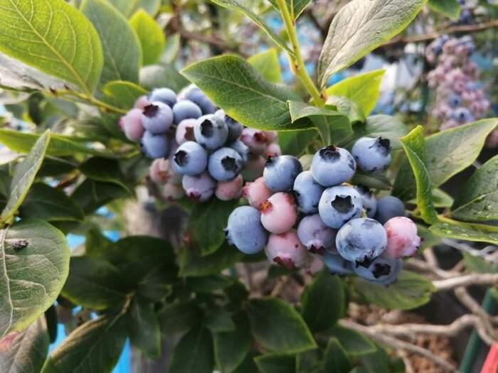 甘い実がついて収穫も楽しめるブルーベリー。小さい苗を地植えすると枯れてしまうことがあるので、最初の1年ほどは鉢植えで大きく育てるのがおすすめです。初心者の方でも育てやすい果樹です。