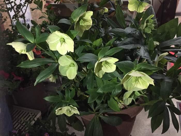 品種によってさまざまな色・形の花が咲くクリスマスローズ。日陰でも育ちます。1月頃から花が咲くので、冬の寒い時期を彩ってくれます。