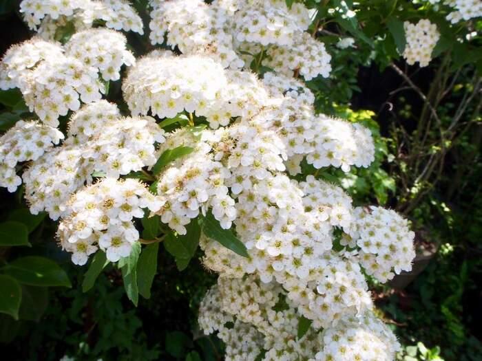 春になると白くて小さい花をたくさん咲かせるコデマリ。低木なので、高木と組み合わせます。育つとボリュームが出てきます。暑さにも寒さにも強く、初心者でも育てやすいです。