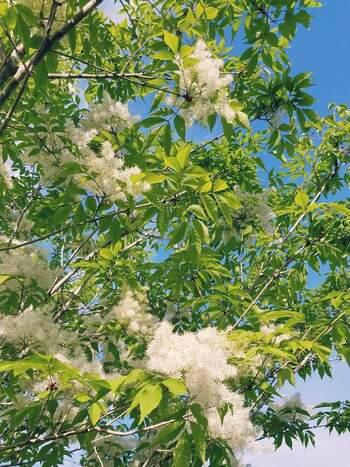 アオダモは、白くてふわふわとした花を咲かせます。大きくなると15mほどになることも。成長がゆっくりで剪定もあまり必要なく、害虫もつきにくいため、初心者でも管理がしやすく人気です。大きな苗は手に入りにくく値段も高いので、小さい苗から育てるのがおすすめです。