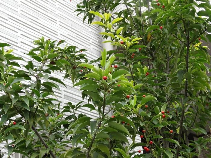 「風になびいてそよそよと音を立てる」ところから命名されたソヨゴ。6月頃に小さく白い花を咲かせ、秋に小さく赤い実をつけます。成長が遅く、管理がしやすいのが特徴です。葉が広がりすぎないので、剪定をうまくすると小さめのお庭でも育てることが可能です。