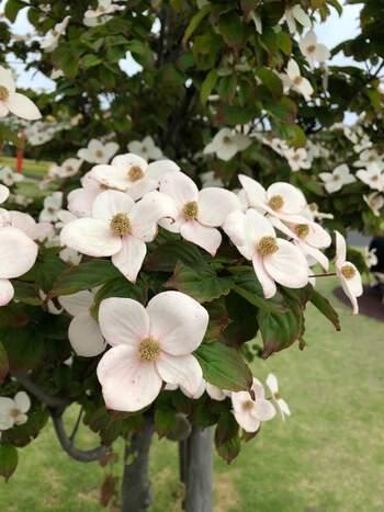 春頃に白やピンクの花を咲かせるハナミズキ。秋には紅葉し、赤い実をつけます。10mほどに成長しますが、枝のまとまりがいいので剪定次第で小さめのお庭でも十分育てられます。日当たりの良い場所を好みますが、乾燥には弱いので気をつけましょう。