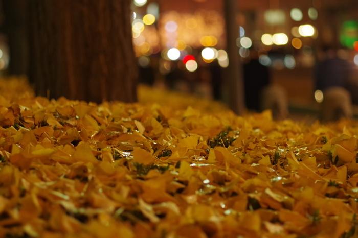 秋になると、イチョウの葉は鮮やかな黄色となります。晩秋になると、イチョウの葉が無数に落葉し、御堂筋の街路樹エリアは黄色い絨毯を敷き詰めたかのよう風景となります。