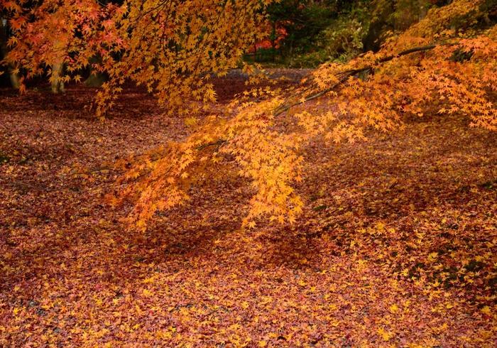 弘川寺の散り紅葉の美しさは格別です。広い境内いっぱいに、折り重なるように散り紅葉が積もる様は、まるで紅葉の絨毯を敷き詰めたかのようです。