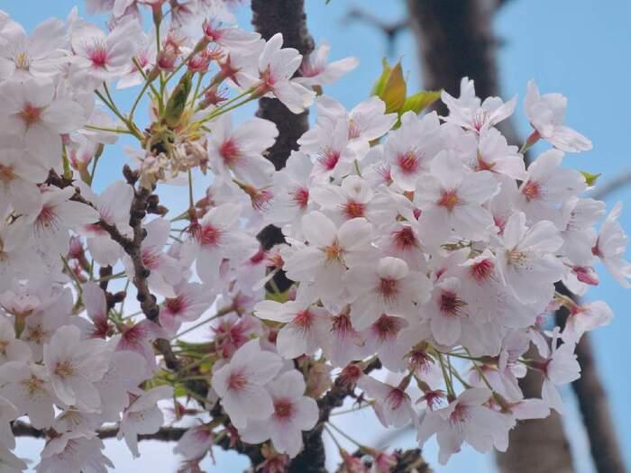 お花見でも人気の桜は、300種類以上の品種があります。春になると綺麗な花が咲くので、シンボルツリーとしても人気です。夜にライトアップすると、見ごたえがありますよ。ソメイヨシノのような一重咲きだけでなく、八重咲きもあります。地植えしてからは水やりの必要はありません。