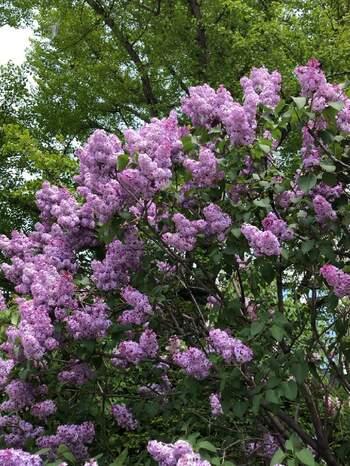 ライラックは、春に甘い香りの花を咲かせるのが特徴です。色は白やピンク、紫など。洋風の庭に似合います。冷涼な環境を好むので、北海道や東北、高原地帯が向いています。それ以外の地域で植える場合は、西日を避けて涼しい場所で育てるようにしましょう。