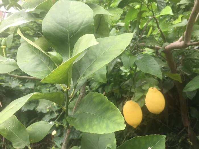 レモンも庭で育てることができます。寒さが少し苦手なので、温暖な地域が向いています。日当たりの良い場所に植えることと、夏の乾燥に注意することが大切です。実がなって収穫の楽しみも味わえます。