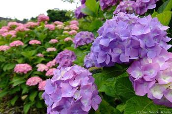 梅雨の憂鬱な気分を吹き飛ばしてくれるほど綺麗なアジサイは、育て方が簡単で初心者向けです。土の酸性度によって咲く花の色が変わります。剪定の仕方によって翌年の花が咲かなくなってしまうので、花芽を切り落とさないように気をつける必要があります。冬は枝だけになって枯れたように見えますが、春になるとまた葉が出てきます。