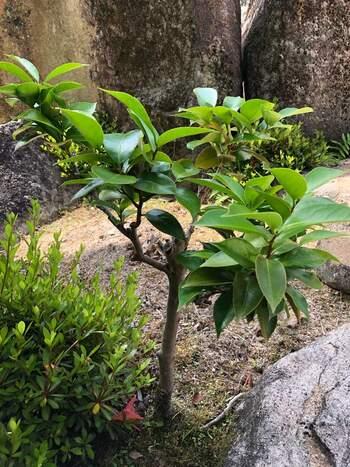常緑樹は、季節に関わらず葉を保っている樹木です。葉が全て落ちてしまうことがないので、お部屋の目隠しなどに向いています。 ・常緑広葉樹…常緑樹の中でも、葉が平たい形をしていて裏表があるもの。ツバキやオリーブなど。 ・常緑針葉樹…常緑樹の中でも、葉の先がとがっているもの。マツや杉など。
