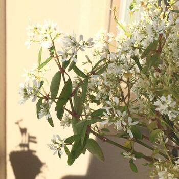 ヒラヒラしたお花がかわいいユーフォルピア。もともと種類の多いお花で一重、八重などいろいろな種類があるのでお気に入りを探してみてくださいね。