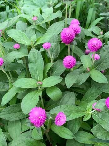 丸くてポンポンの様な姿がかわいい千日紅。ピンクや紫、白などいろいろな色が楽しめる、暑さに強いお花です。ドライフラワーにしても◎なので、お庭で育てている方がきれいな時期にドライフラワーにもチャレンジされてみてはいかがでしょうか。