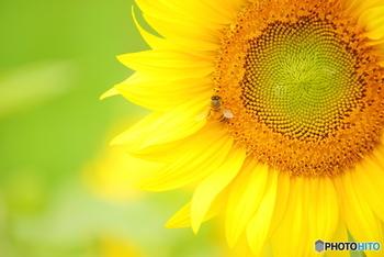 夏のお花の代名詞、ヒマワリ。目が覚めるような黄色い大きなお花は、見ているだけで元気になれますよね。一輪でも十分存在感があるので、初心者の方にもおすすめのお花です。一輪挿しなどには、ミニヒマワリを飾ってみたいですね。