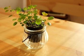 柔らかい茎に小さな葉っぱが特徴のワイヤープランツ。その名の通りワイヤーの様に細い茎につく葉っぱがかわいいですよね。全体的に華奢で、光を通すと爽やかなグリーンが楽しめます。