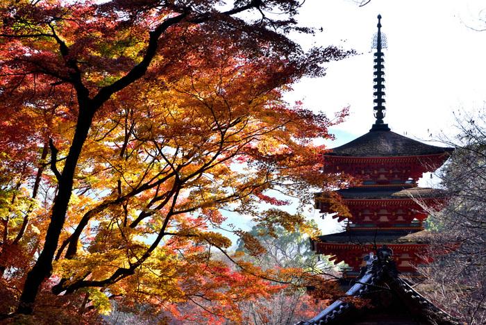 古くから「花のお寺」として知られている長谷寺では、年間を通じて様々な花々を鑑賞することができるほか、晩秋になると、境内の樹々が紅葉し、国宝に指定されている本堂の舞台からは五重塔と紅葉が織りなす見事な風景を臨むことができます。