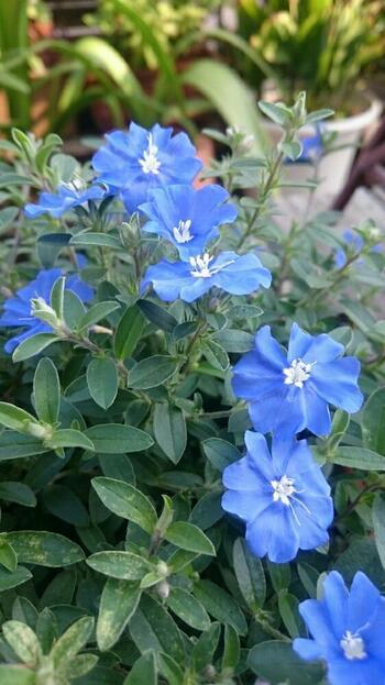 本名をエボルブルスと言う、アメリカンブルー。アメリカから来た青いお花と言う理由で、アメリカンブルーと呼ばれる様になったそうですが、華奢な茎の先につく青いお花がとっても印象的ですね。クネクネと広がる茎でボリュームがあるので、ちょっとたくさん生けたい時には、大きめのベースを選ぶのが◎。