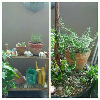 ・ディープブルー(濃い緑の、肉厚の葉。しっかりと爽やかな香りを放つので、ハーブティーなど料理で人気)※画像 ・モーツァルトブルー ・ロックウッドデフォレスト など