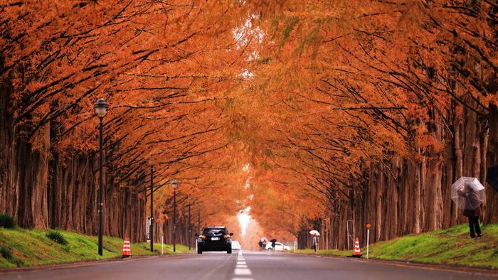 滋賀県高島市に位置するメタセコイア並木は、農業公園マキノピッキングランドからマキノ高原へ延びる延長約2.4キロメートルの直線道路に約500本のメタセコイアが植樹されている並木道です。