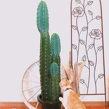 写真のような大きな柱サボテンも、水耕栽培が出来ます。 胴体を水平にカットし、根が生えるまで1~1ヶ月半程待つと準備完了。茎が水に浸からないように注意しながら栽培します。