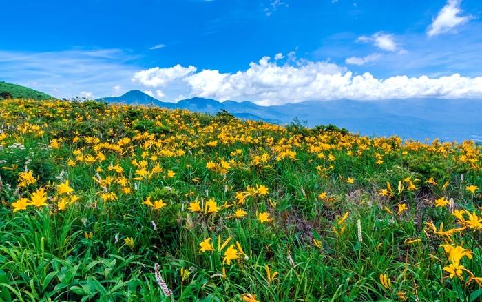 車山の噴火によって生まれた車山高原は広大な草原台地。高山植物のニッコウキスゲの見頃は7月中旬~下旬。夏を迎えると草原一帯が黄金色の花で埋め尽くされ、その光景は圧巻です。