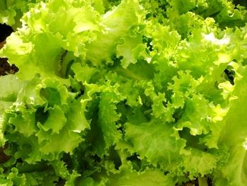 地の生野菜を使うこと。