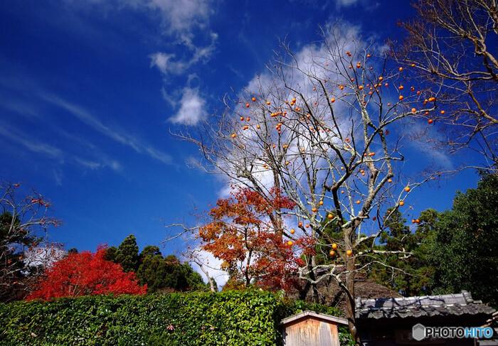 落柿舎は、江戸時代に活躍した俳人、松尾芭蕉の弟子である向井去来が別荘として使用していた草庵です。この草庵に「落柿舎」という風変りな名前が着けられたのには、あるエピソードがあります。落柿舎の庭には40本の柿の木がありました。向井去来は庭の柿を都から訪れた商人に売る約束をしていました。ところが、代金を受け取った晩に嵐が吹き、一夜にして柿の実が全て落ちてしまいました。そのため、この草庵は「落柿舎」と名付けられたと伝えられています。