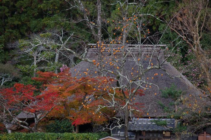 晩秋になると、紅葉した樹々に加え、柿の実がなっており、のどかな茅葺屋根の草庵の風情を引き立てています。