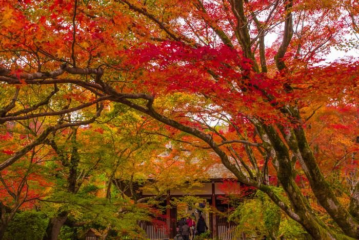 境内には、約200本ものカエデが植樹されており、晩秋になると寺院境内全体が、錦を纏ったかのような風景へと変貌します。