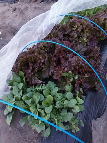 サニーレタスは、苗を植え付けたら30日ほどで収穫できるので菜園初心者さんに向いています。 浅く根を張るので、プランターでも育てることができますが、16cm以上のものを選ぶようにしましょう。