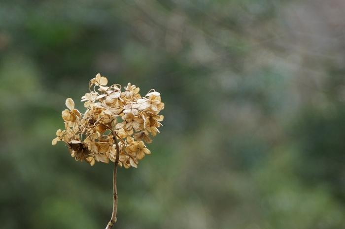 夏の風情を残したまま、ドライフラワーになるお花も素敵です。一輪だけで飾っても、インパクトがあり、独特の空気感を醸し出してくれます。