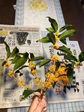 まずは香りの残っている花を丁寧に摘み取りましょう。虫やゴミがついていないか、入念にチェックを。  咲き始めの花を選んだ方が、香りがしっかりとあるようです。ふわっと優しい香りが、心を和ませてくれますよ。