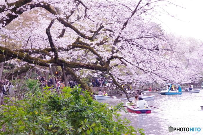 この公園は桜の名所として知られ、春にはたくさんの花見客で賑わいます。ボートに乗って水上から見上げる桜は、一段と綺麗ですよ!水面に反射して一面ピンク色の景色が広がります。